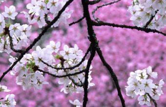 Sakura Wallpaper 18 1600x1200 340x220
