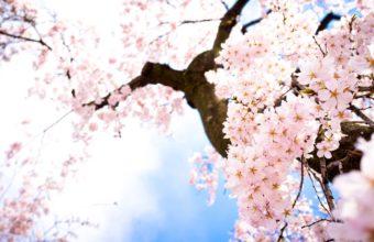 Sakura Wallpaper 2 1920x1080 340x220