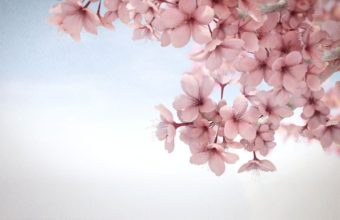 Sakura Wallpaper 20 1275x781 340x220