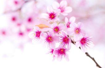Sakura Wallpaper 23 2560x1600 340x220
