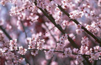 Sakura Wallpaper 24 1920x1080 340x220
