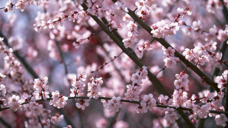 Sakura Wallpaper 24 1920x1080 768x432