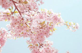 Sakura Wallpaper 26 1024x768 340x220