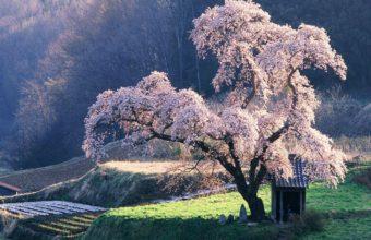 Sakura Wallpaper 27 1024x768 340x220