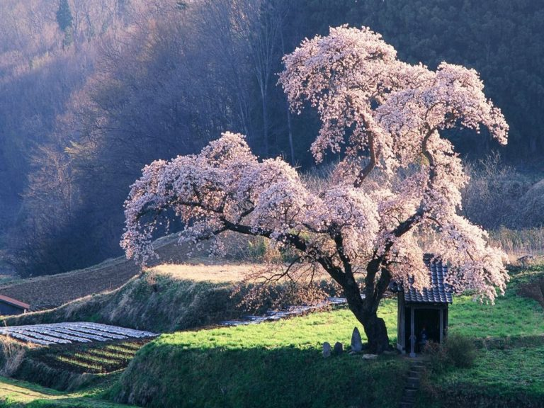 Sakura Wallpaper 27 1024x768 768x576