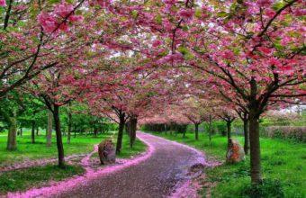Sakura Wallpaper 32 1024x768 340x220