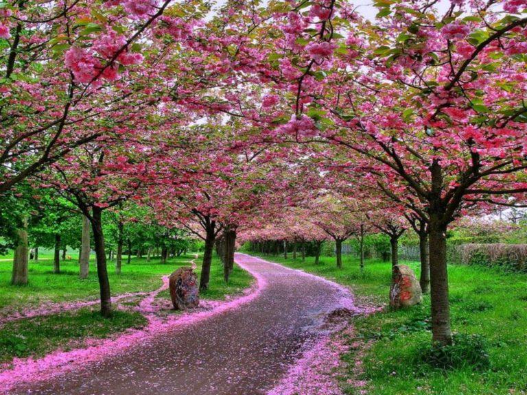 Sakura Wallpaper 32 1024x768 768x576