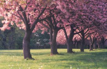 Sakura Wallpaper 35 2560x1600 340x220