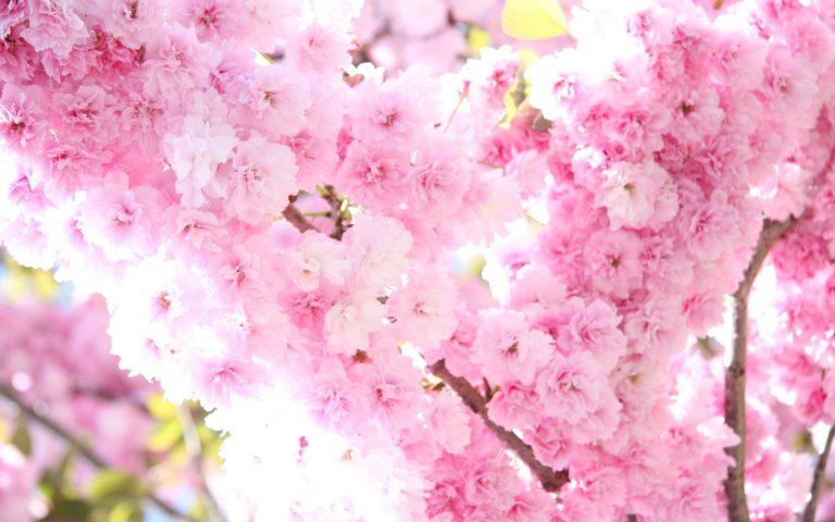 Sakura Wallpaper 37 2560x1600 768x480