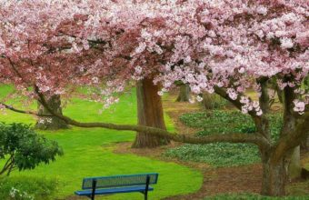 Sakura Wallpaper 38 1024x768 340x220