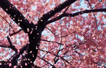 Sakura Wallpaper 41 1600x900 340x220