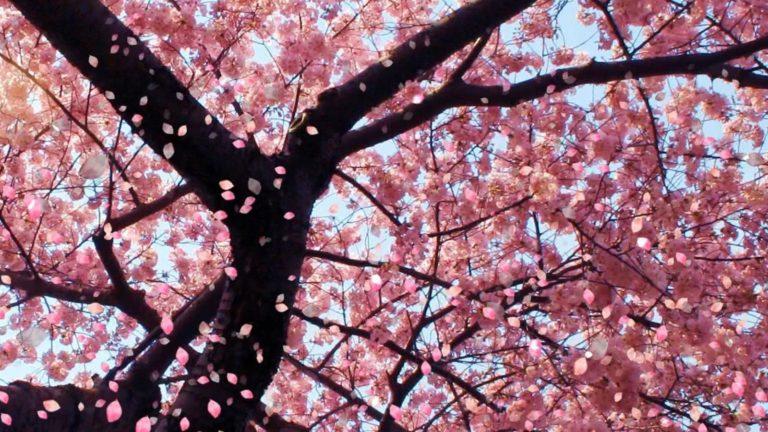 Sakura Wallpaper 41 1600x900 768x432