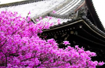 Sakura Wallpaper 42 1366x768 340x220