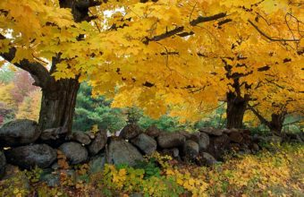 Autumn Maples Near Old Stone Wall 1920 X 1080 340x220