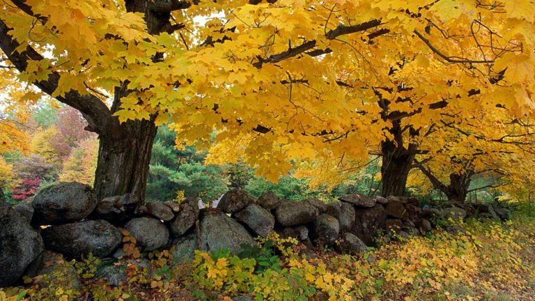 Autumn Maples Near Old Stone Wall 1920 X 1080 768x432