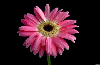 Beautiful Pink Daisy 1280 x 800 340x220