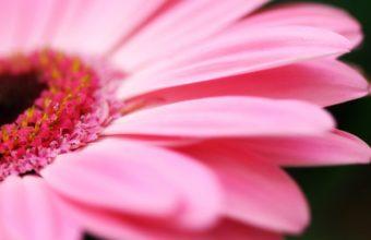 Big Pink Daisy 1920 x 1080 340x220