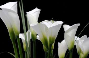 Calla Lilies White Black 1800 x 1180 340x220