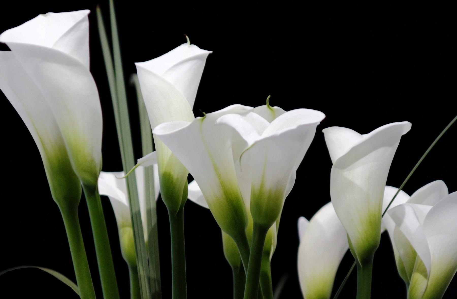 Calla Lilies White Black 1800 X 1180