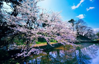 Cherry Blossom Trees 1920 x 1200 340x220