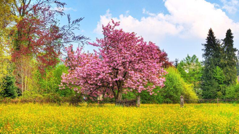 Cherry Tree HD 1920 x 1080 768x432
