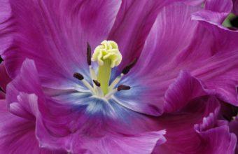 Close Up Of A Purple Tulip 1920 x 1200 340x220