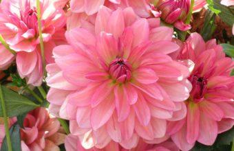 Dahlia Petals Pink 2590 x 1920 340x220