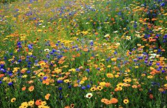 Daisi Cornflowers Flowers 1800 x 1180 340x220