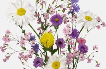 Daisies Cornflowers Flowers 2400 x 2060 340x220