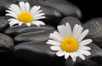Daisies Flowers Stones 3872 x 2592 340x220