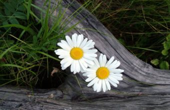 Daisy Flowers 1920 x 1200 340x220