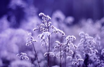 Dandelions On A Purple Background 2560 x 1600 340x220