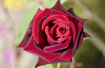 Deep Red Rose Wallpaper 1680 x 1050 340x220