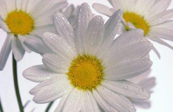 Delicate Daisies 1600 x 1200 340x220