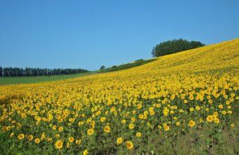 Field Sunflowers Summer 1920 x 1200 340x220