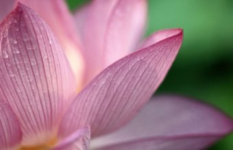 Flower Pink 1080p HD 1920 x 1080 340x220