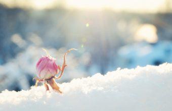 Flower Rose Bud Snow Sunny Pink Bokeh 1920 x 1200 340x220