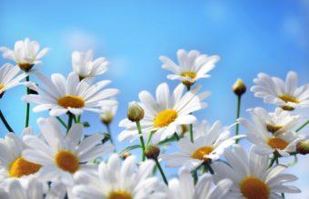 Flowers Daisies Petals Nature Sky Macro 1920 x 1200 340x220