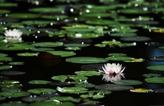 Flowers Lily Lilies Foliage Bokeh Pond 1920 x 1200 340x220