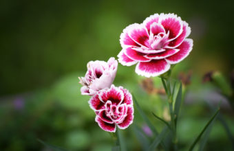 Flowers Pink White Macro Petals 2048 x 1365 340x220