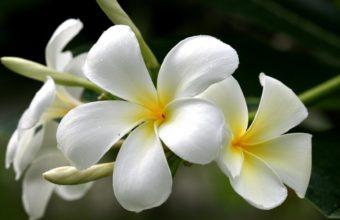 Flowers Plumeria Frangipani Yellow White 1920 x 1080 340x220