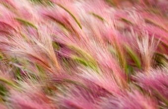 Foxtail Barley 2880 x 1800 340x220