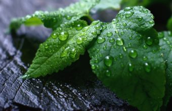 Fresh Mint Leaves 1920 x 1200 340x220