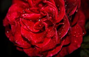 Fresh Red Rose Wallpaper 1920 x 1200 340x220