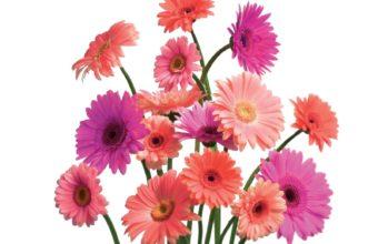 Gerbera Daisy Cluster 1600 x 1200 340x220
