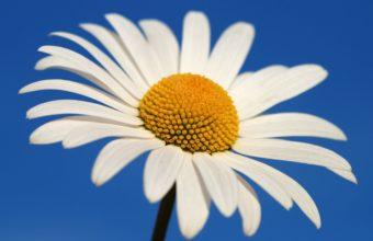 Glowing White Daisy 2560 x 1600 340x220
