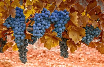 Grapes Autumn Leaves 1350 X 900 340x220