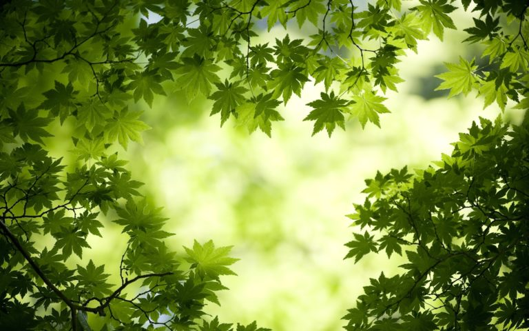 Green Maple Leaves 1920 x 1200 768x480