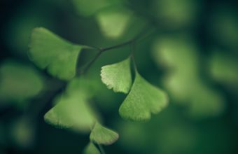 Green Nature Macro Ginkgo Foliage 2560 x 1600 340x220