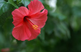 Hibiscus Chinese Rose Red 1600 x 1200 340x220